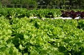 stock photo of hydroponics  - Close up organic hydroponic salad vegetable farm - JPG