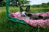 image of mini lop  - Holland Lop baby bunny and baby mini rex bunny in an easter basket with a pink and white checked lining outside under blue skies on a sunny summer day - JPG
