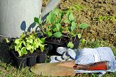 foto of kohlrabi  - vegetable garden in springtime planting salad and kohlrabi seedlings - JPG