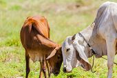 image of calf  - Brown Cows can show affection by by varsity the calf - JPG