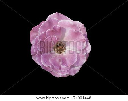 Pink Rose isolated On Black