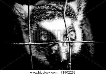 High Contrast Angry Lemur