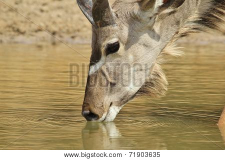 Kudu Antelope - African Wildlife Background - Drinking Gold