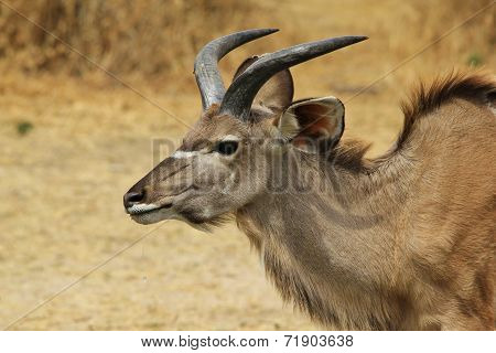 Kudu Antelope - African Wildlife Background - Horns of Curve