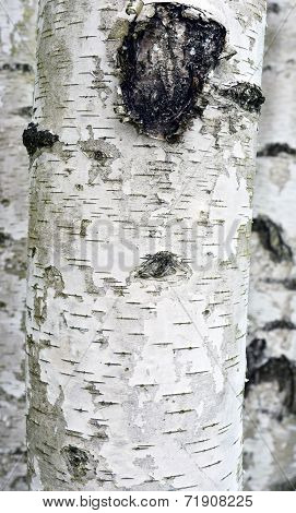 Abstract Background Birches