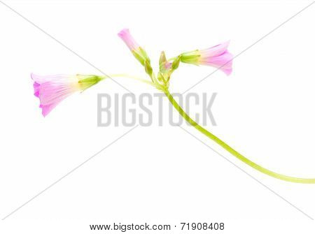 Pink Flowers Of Oxalis Corymbosa