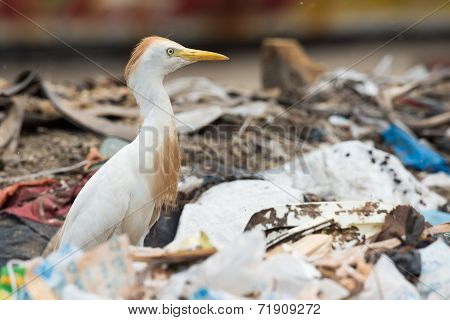 A Cattle Egret (bubulcus Ibis) Searching A Dump For Flies And Maggots