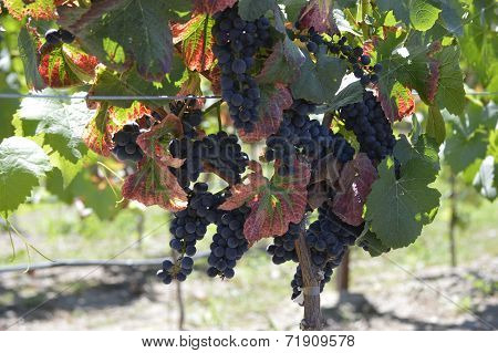 Wine Grapes in the Vineyard at Harvest Time