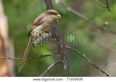 A Yellow-billed Shrike (corvinella Corvina) Eating A Millipede