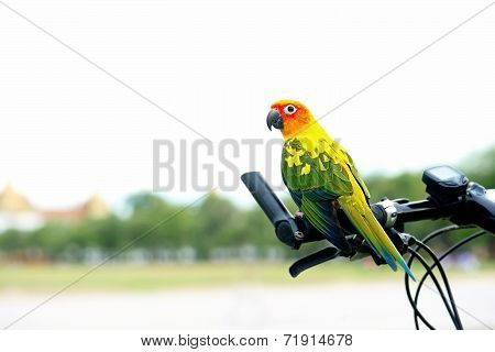 Beautiful Sun Conure Pet Parrot on bicycle handlebars out door.