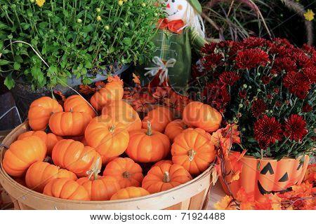 Hardy mums and basket of pumpkins