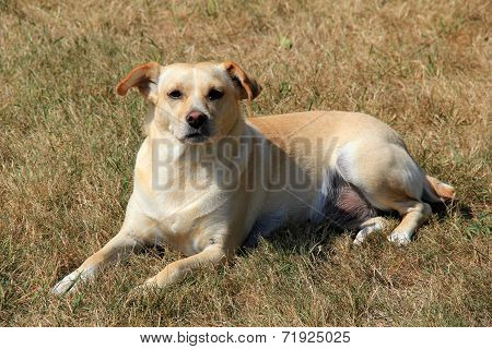 Mixed breed puppy lying on grass