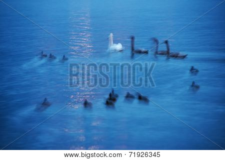 Swans on Balaton Lake, Hungary, Europe - abstract image - long exposure