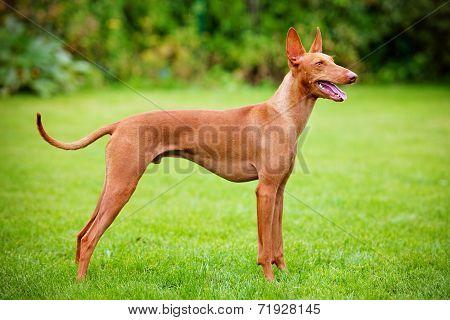 cirneco dell etna dog