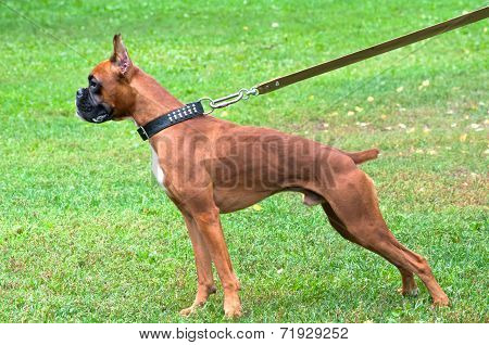 Boxer Dog Standing On The Grass