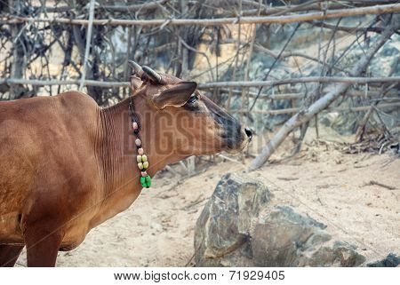 Cow With Necklace In India