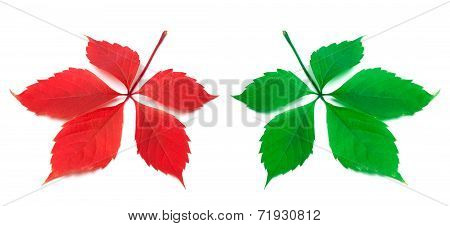Red And Green Virginia Creeper Leaf On White Background