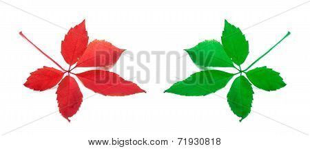 Red And Green Virginia Creeper Leaves