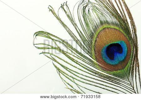Beautiful exotic peacock feather on white