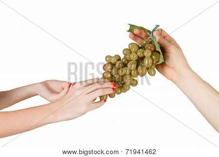 Male And Female Hands Hold The Grapevine