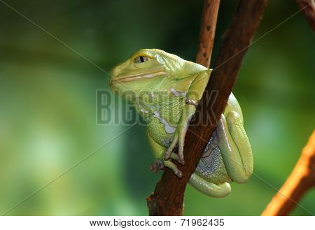 Waxy Monkey Frog Phyllomedusa sauvagii sitting on branch