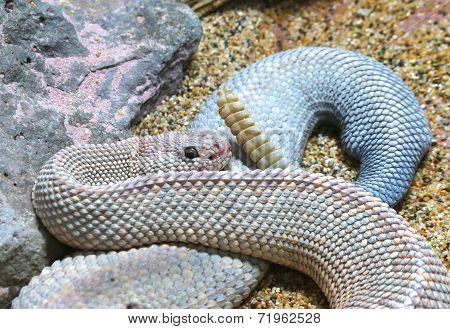 Aruba Island Rattlesnake Crotalus durissus unicolor