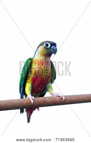 Green  cheek cinnamon Amazon parrot