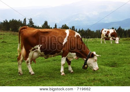 Mountain Cows