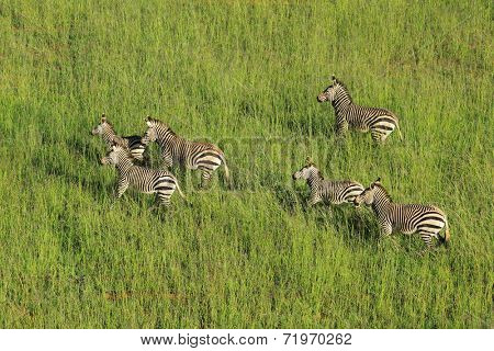 Aerial view of Hartmanns Mountain Zebras (Equus zebra hartmannae) in grassland, South Africa