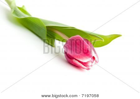 Single Tulip Flower