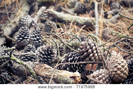 Pine Cones and Needles in forest