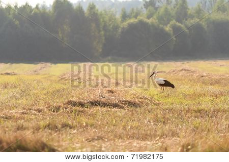 Adult walking White Storks on field