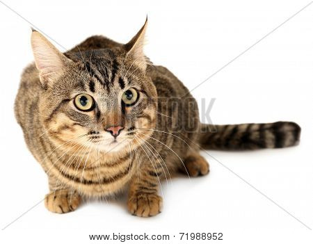 Grey cat isolated on white