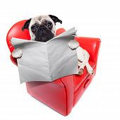 stock photo of couch potato  - pug dog reading newspaper while sitting relaxed on a cool red sofa or couch - JPG