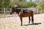 picture of tame  - A brown saddled tamed horse in a fenced area - JPG