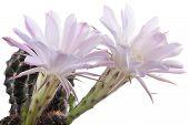 stock photo of fragile  - Beautiful pink fragile cactus flowers isolated on white background - JPG