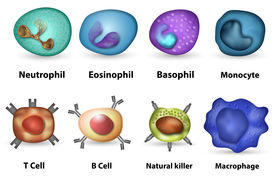 stock photo of leukocyte  - Main white blood cell leukocytes type overview - JPG