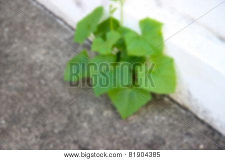 Blurry Image Of Lvy Gourd Plant Growing On The Footpath
