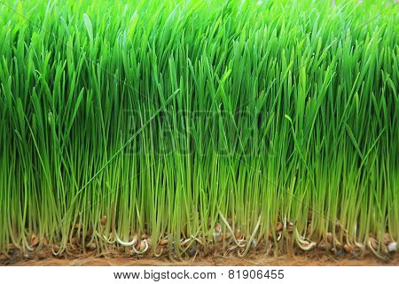 Sprouted Barley