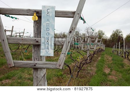 Chardonnay Row of Grape Vines