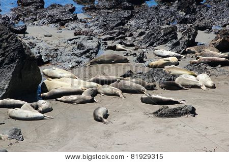 California Seals