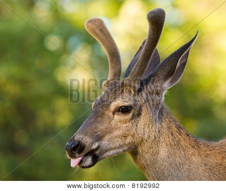 Mule Deer Sticking Tongue Out