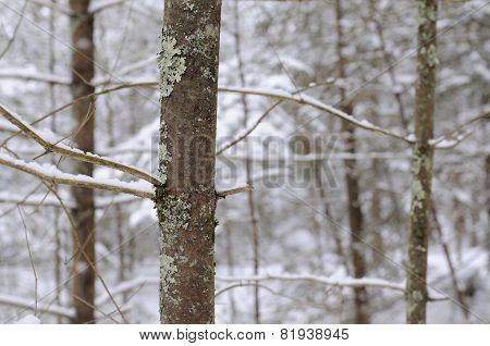 Snow Covered Branches in Pine Forest