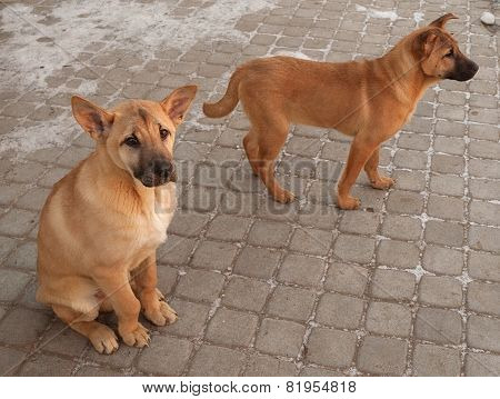 Two Red Puppy Sitting On Paving Slabs