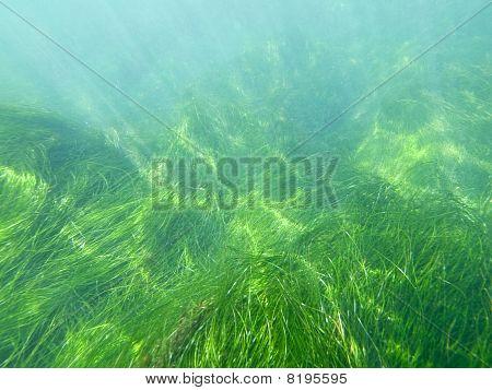 Californië zeegras