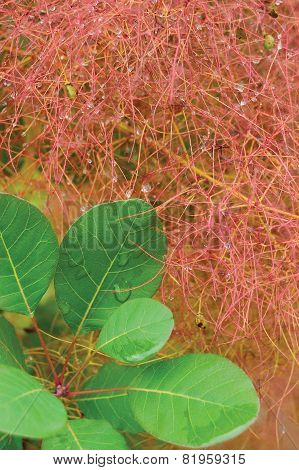 Smoketree Rhus Cotinus Coggygria Pink Blooming, Royal Purple Smoke Bush Flowering Macro Closeup