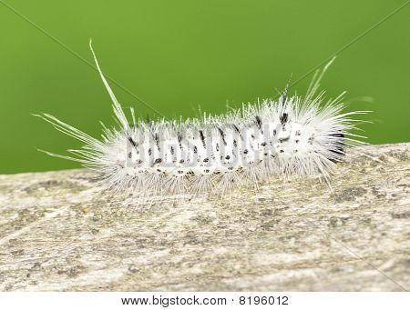 Hickory Tussock Moth Caterpiller
