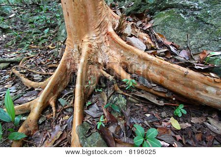 Buttressed Tree Roots