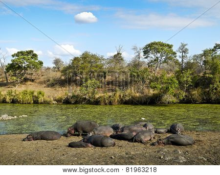 herd of wild hippos sleeping, Kruger