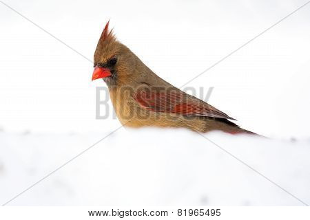Female Northern Cardinal / Cardinalis cardinalis